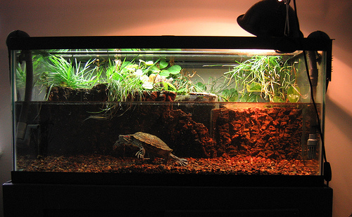 Red eared turtle red eared slider pet turtles for Fish tank turtles