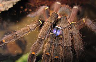 2010 十大新物種 - 7.藍牙狼蛛
