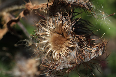 Old Thistle