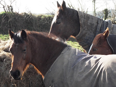 Horses in Cornwall wearing coats