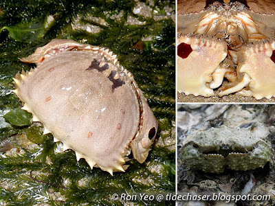 Box crabs (superfamily Calappoidea, family Calappidae)