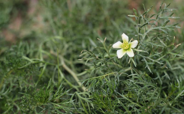 Peganum Harmala Flowers Pictures