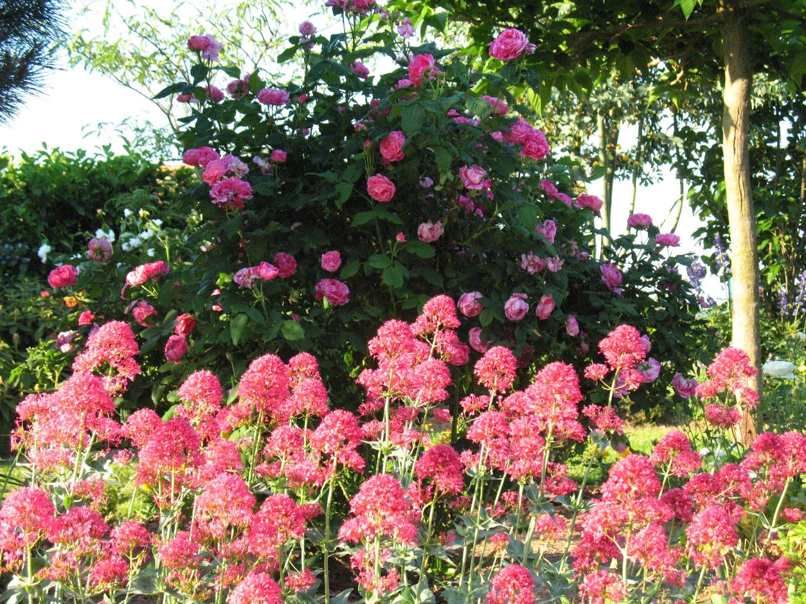Roses du jardin Chªneland Valériane des jardins et Ferdinand Pichard