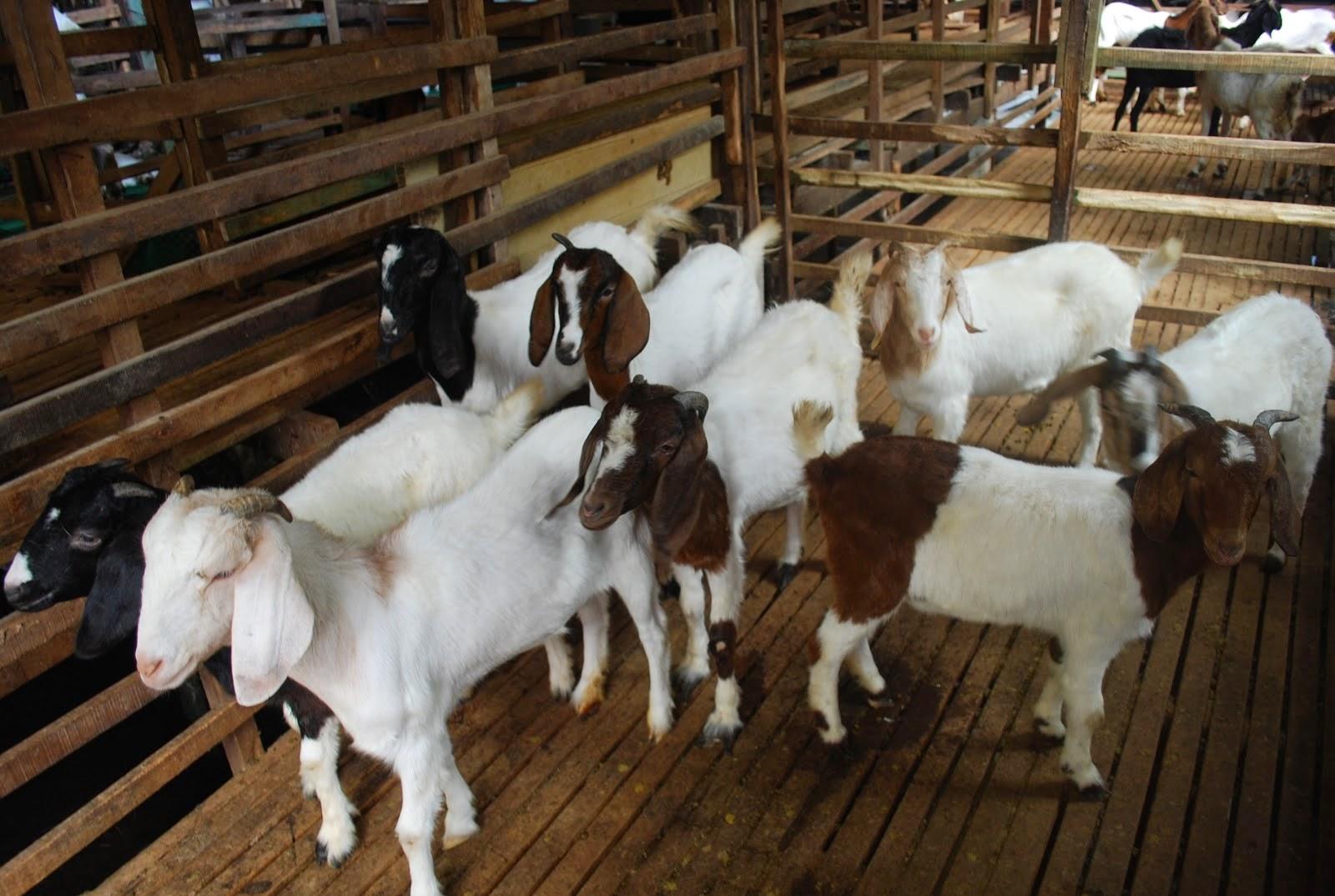 khasiat susu kambing untuk kita