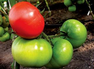 как дозаривать помидоры,томаты,томатный сок