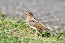 Wryneck, Spurn Point