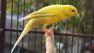 Burung Kenari - Solusi Penangkaran Burung Kenari -  Kode Ring Kenari Import Pada Negara Uruguai