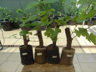 Anggur Selain Dapat Tanama Kebun Juga Ditanam Dalam Pot