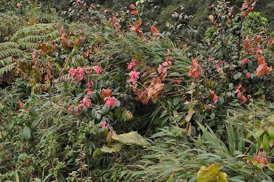 colmillo Cavendishia bracteata