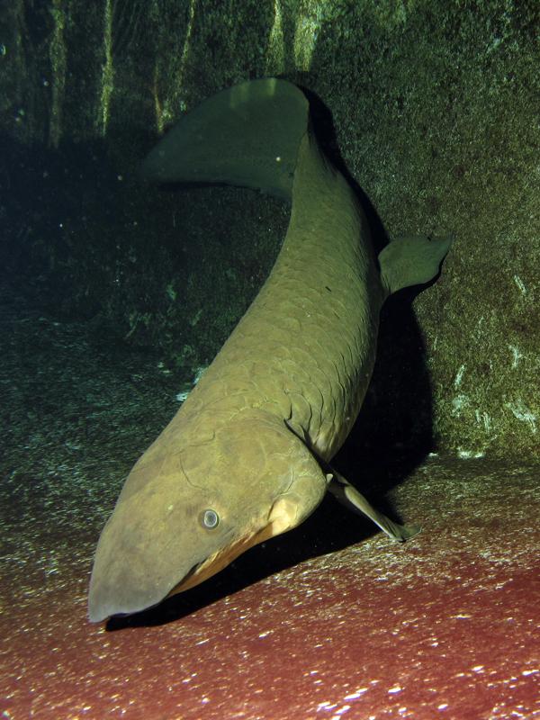 queensland lungfish neoceratodus forsteri queensland lungfish ...