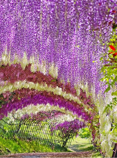 he Wisteria Tunnel at Kawachi Fuji Gardens, in Kitakyushu