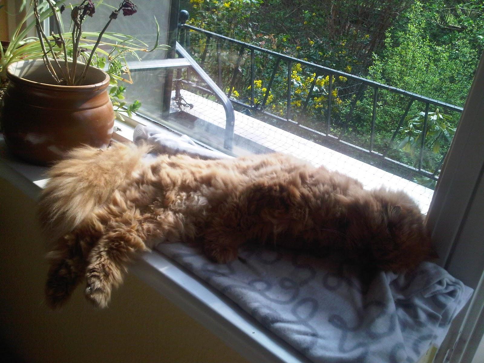 Schlafender Perserkater auf der sonnigen Fensterbank