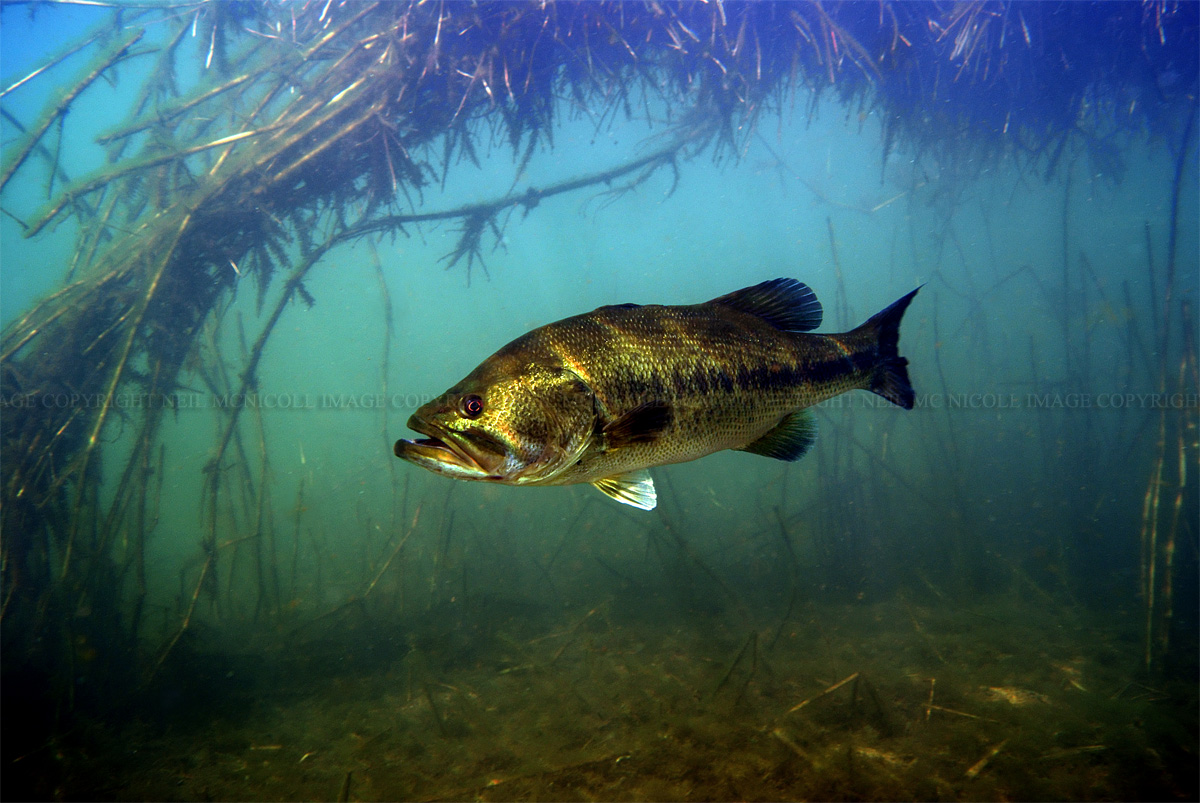 largemouth bass underwater largemouth bass against a backdrop of reedsLargemouth Bass Pictures Underwater