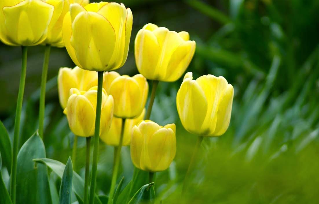 Gambar bunga tulip kuning
