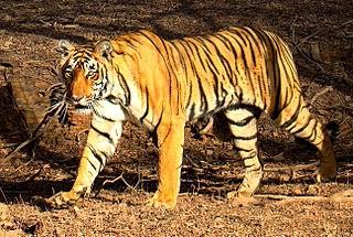 Gambar Harimau Benggala
