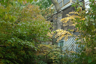 katsuratree and kousa dogwood in autumn by garden muses: a Toronto gardening blog