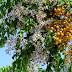 Tespih Ağacı(Melia azedarach), Ayı Fındığı, Boncuk Ağacı,Yaban Ayvası, Zamzalak, Çakıldak