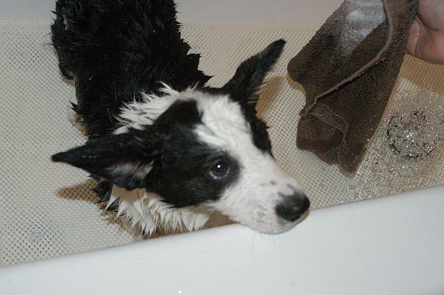Por que cachorro molhado tem cheiro ruim?