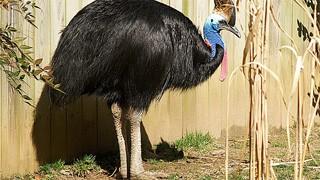 World's deadliest bird, World's dangerous bird, Cassowary picture, Australia Cassowary photo, Most dangerous birds in the world, World's dangerous bird 2011, World's dangerous bird Guinness world record
