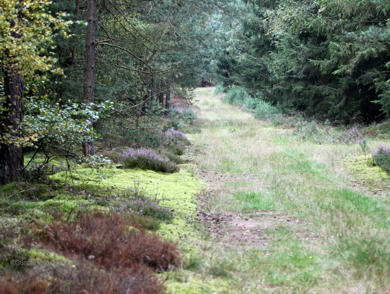 Forest way in heathland, northern Germany