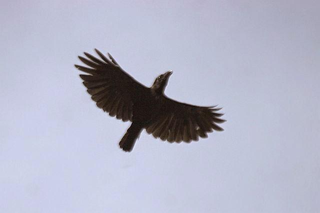Foto Burung Gagak Terbaik