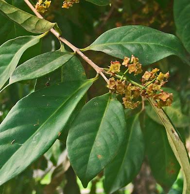 tanaman herbal daun salam