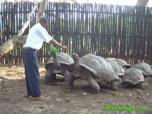 Cuidador alimentando las tortugas de Aldabra