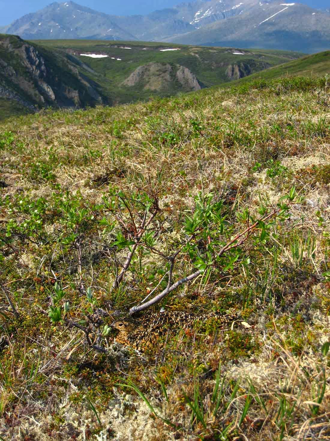 camouflaged female ptarmigan