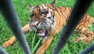 Harimau Sumatera di KBS Kurus Kering