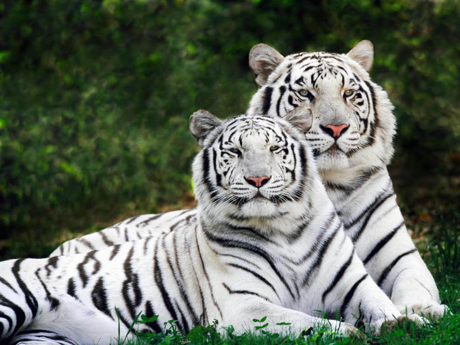 desktop wallpapers: white tiger desktop wallpapers
