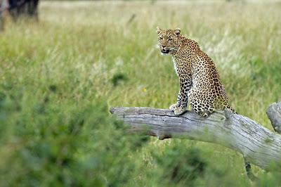 Leopard on the Serengeti, Tanzania