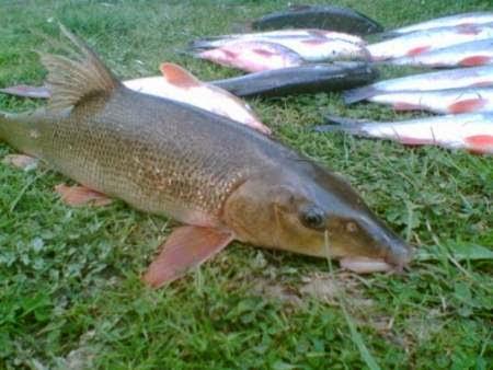 Рыбалка на Кавказе. Кавказские Усачи