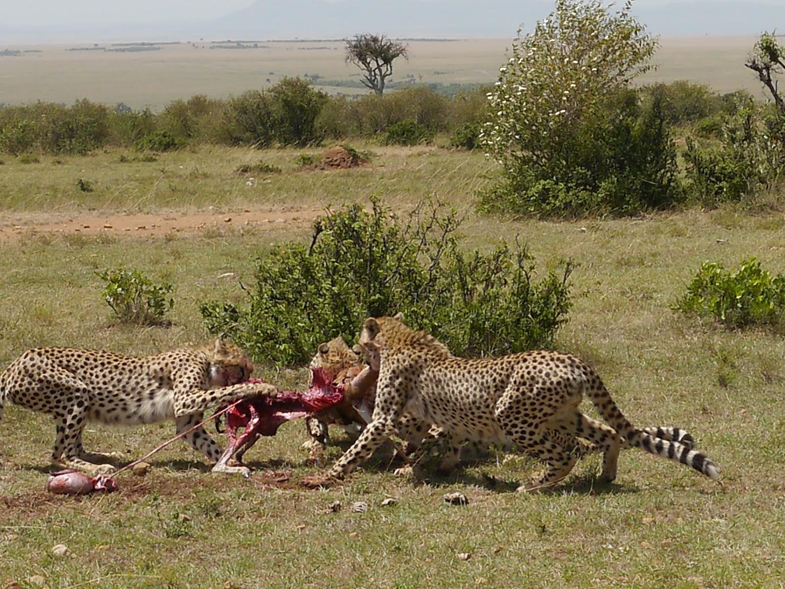 Maasai Mara Kenya  city images : Masai mara safari