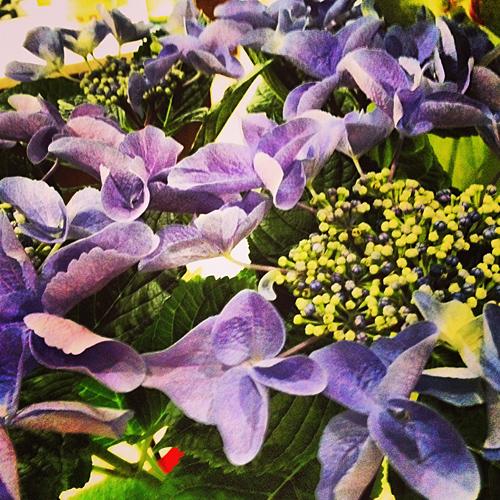 NowThisLife.com - Purple Hydrangea