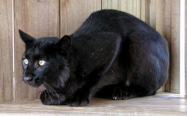 بالأسود أحلى حيوانات سوداء ولكنها جميلة melanistic-black-bob