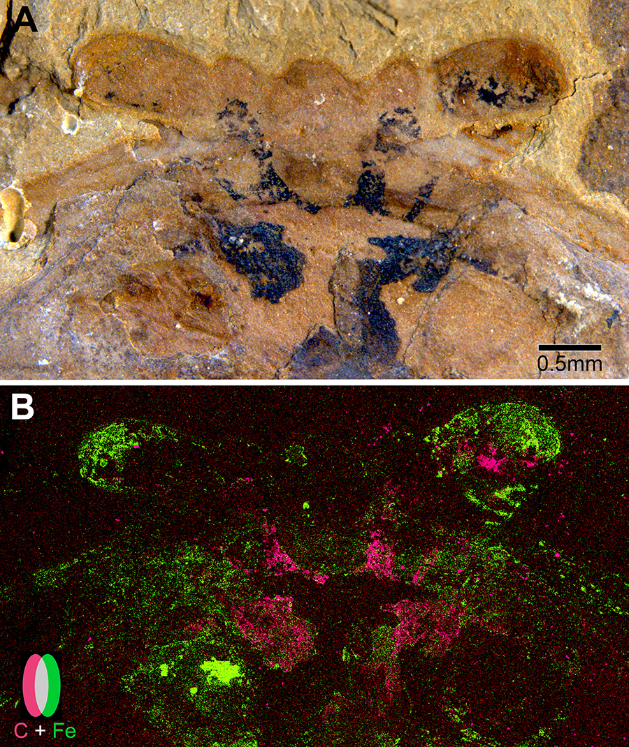 Fossils: 520-million-year-old arthropod brains turn paleontology on its head