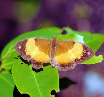 Australian Rustic Butterfly  Cupha prosope  2733