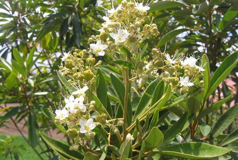 Bois de judas ou faux bois de fer flore de l le de la for Entretien jardin reunion