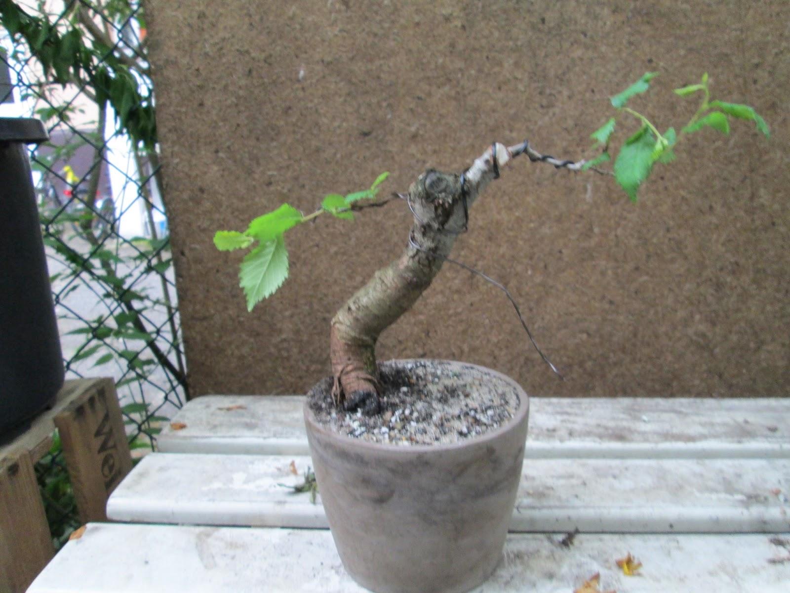 bonsai erstgestaltung einer feldulme ulmus minor. Black Bedroom Furniture Sets. Home Design Ideas