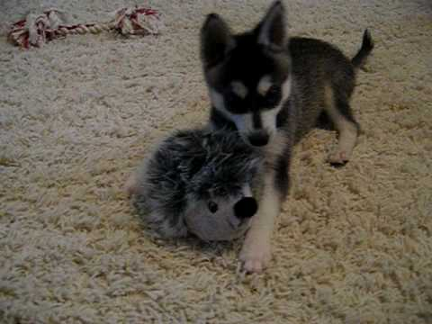 Mini Alaskan Husky Puppies