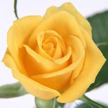 Rosa amarilla