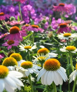 Echinacea: Plant them for the Bees & Butterflies