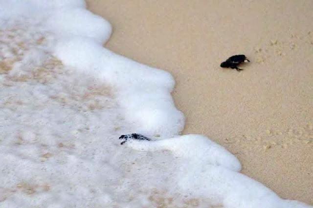 baby sea turtles reaching tide