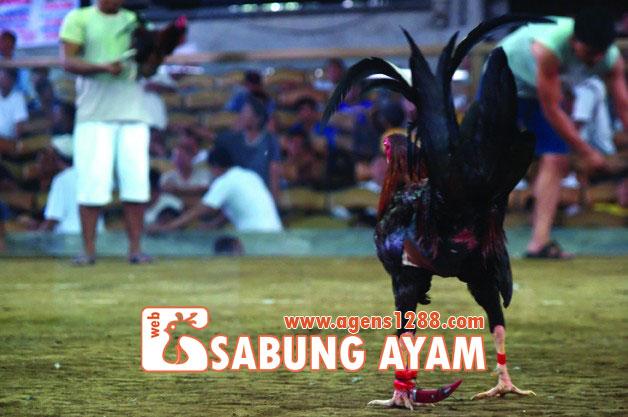 Hasil Pertandingan Arena AR1 Sabung Ayam S1228.net 06 November 2015