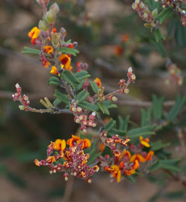 Hill River Poison (Gastrolobium polystachyum)