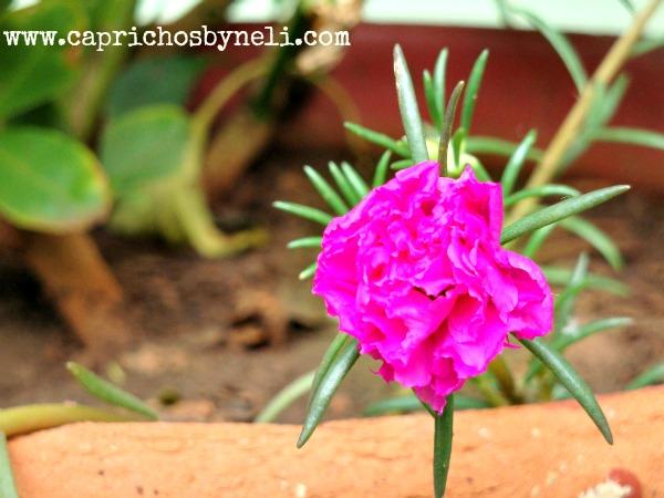 Flor de Onze horas em vaso e na decoração de varanda