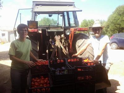 Sara e Fre raccolgono pomodori a Corrameana, Perfugas, Sassari, Sardegna