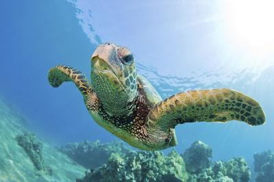 Tortue Verte - Tortue de mer