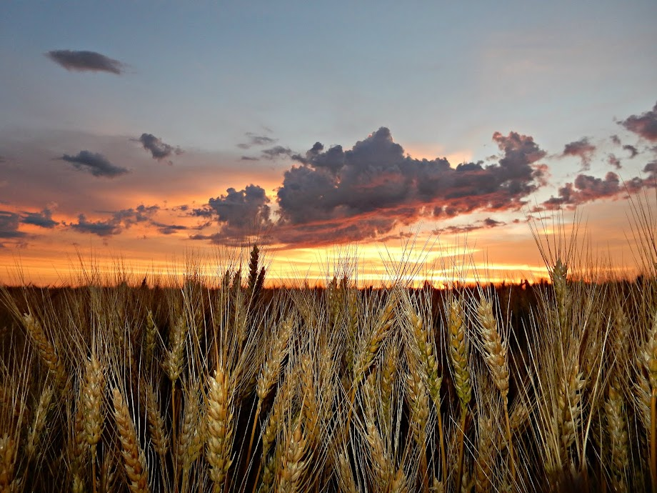 Sunrise over a wheat field