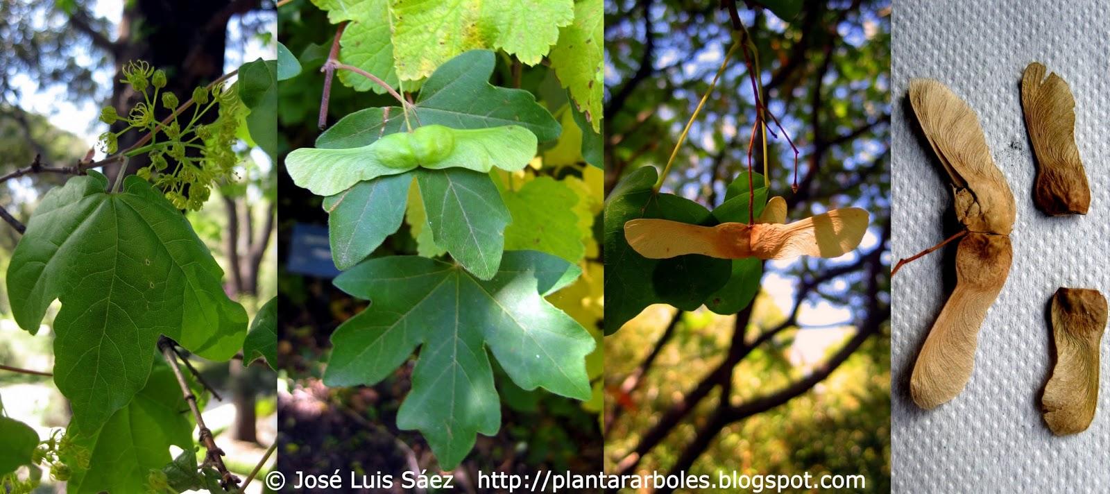 Flores frutos y semillas de arce menor o com n acer - Arce arbol espana ...